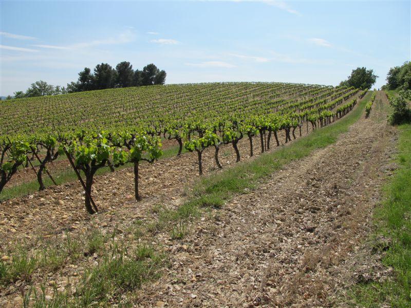 Les vignes de la Tuilière à Cadenet