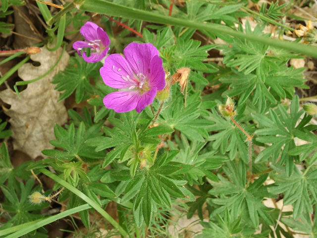 geranium sauvage pourriere