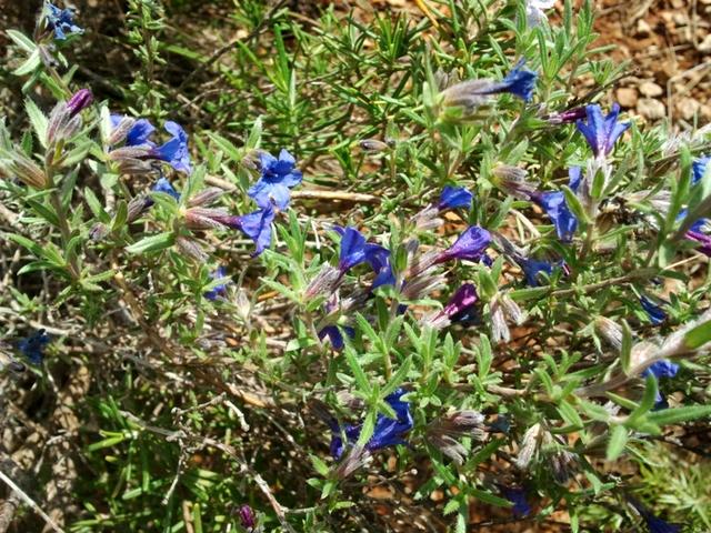 Grémil ligneux. Lat. Lithodora fruticosa. Flanc sud de la Sainte-Victoire.