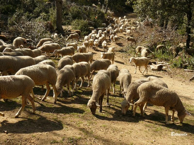 troupeau de mouton à lamanon