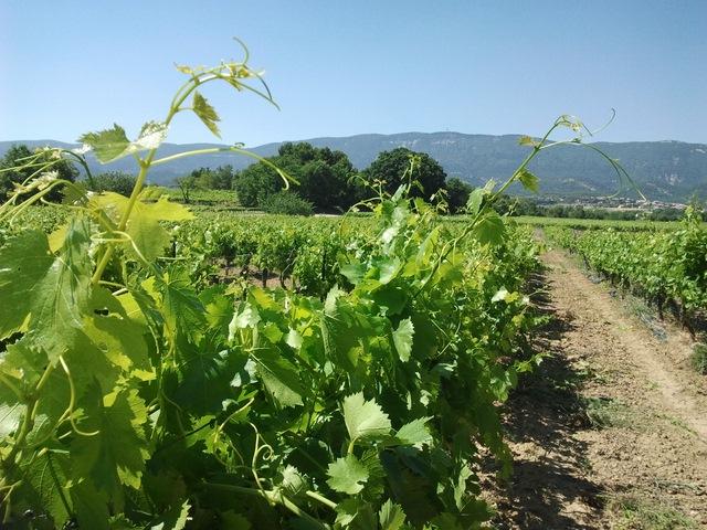 Etang de la Bonde bord vignes
