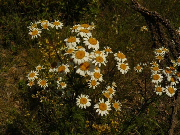 Grande camomille. Chrysanthemum parthenium. Partenelle. Famille des Asteraceaes. Plateau de Saignon Vaucluse.