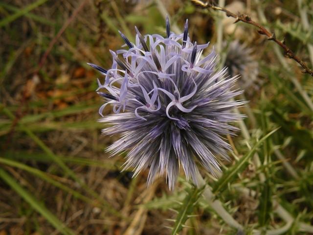 Chardon bleu. Lat. Echinops ritro ou Oursin bleu. Prairie de la Sainte-Victoire.