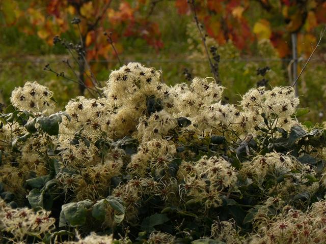 Vernègues Clématites sauvages