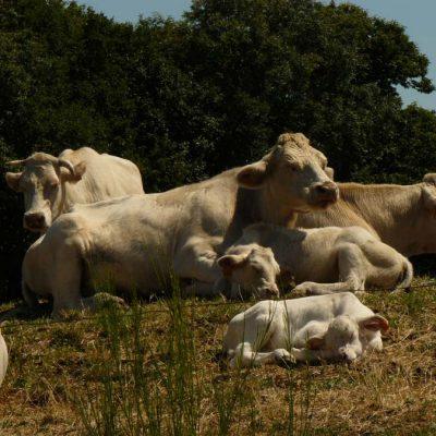 Les vaches près du relais de Chalencon