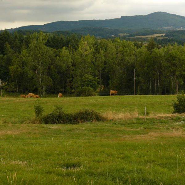 Les vaches de Vaugeron