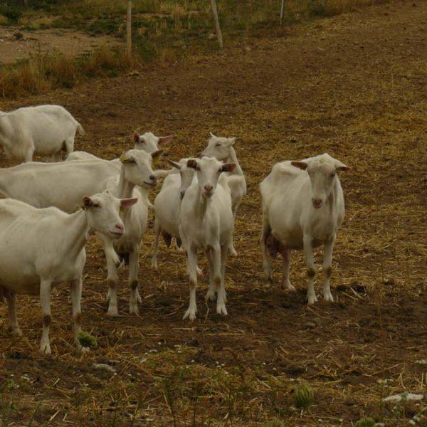 La chèvrerie de Morizon