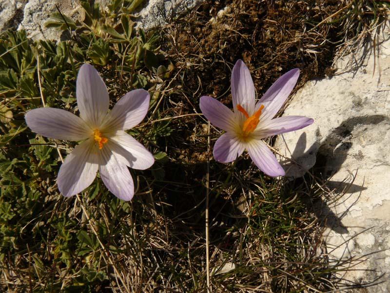 sainte-victoire fleur Crocus bigarré Crocus versicolor Famille : Iridaceae