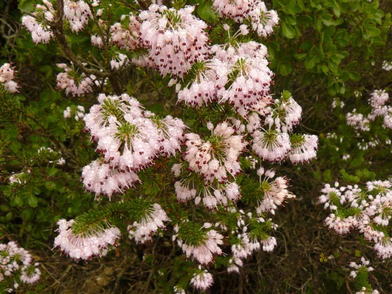 Bruyère rose méditerranéenne. Lat. Erica multiflora. Massif de La Ciotat.