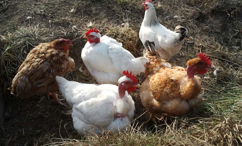 poules du moulin haut