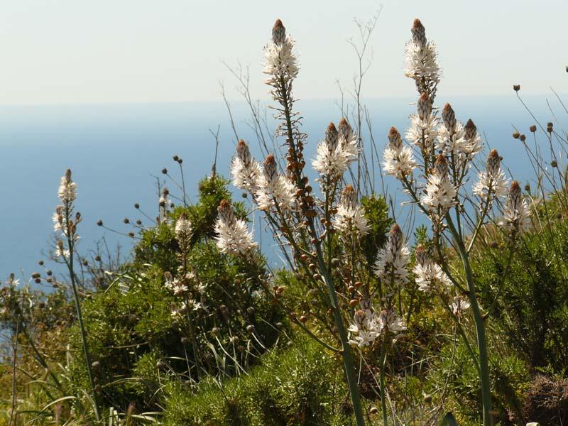 Asphodèle ramifié. Lat. Asphodelus ramosus. Famille des Liliacées. Massif de La Ciotat.