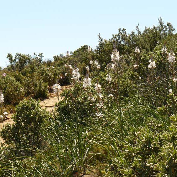 Asphodèles en fleur près du sémaphore L