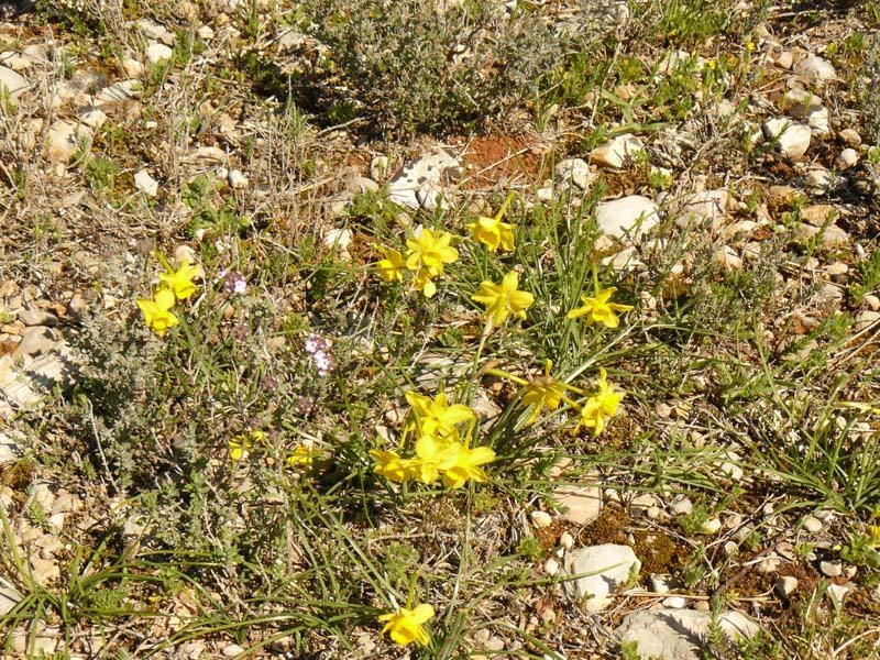 Narcisses d'Asso. Lat. Narcissus assoanus. Narcisse à feuilles de jonc. Famille des Amaryllidacées. Massif de la Sainte-Victoire.