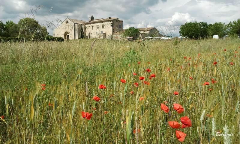 champ de blé et coquelicots au prieuré de salagon