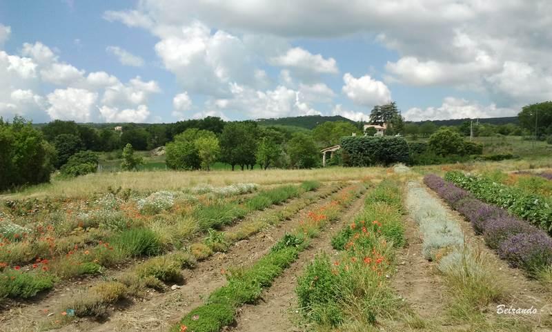 Culture de plantes aromatiques et médicinales jardin notre dame de salagon