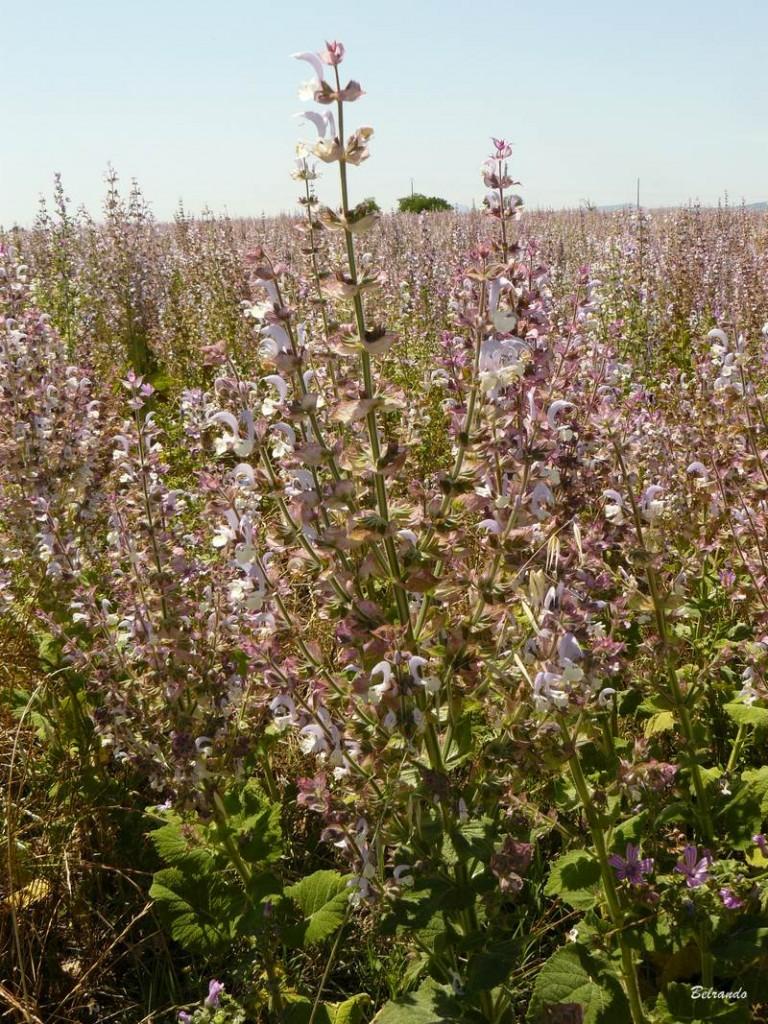 Sauge sclarée, fleur principalement utilisée en huile essentielle