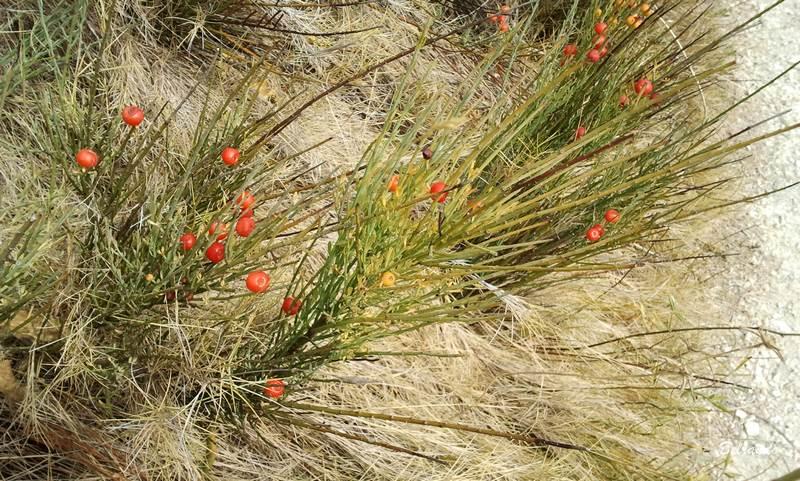 Plant de rouvet, un ajonc des espaces méditerranéens.