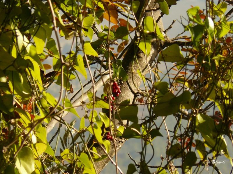 Salsepareille . Une plante liane qui grimpe ...partout.