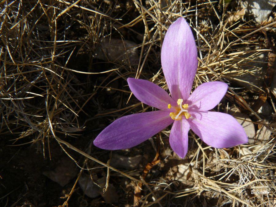 Colchique. Famille des Liliaceae