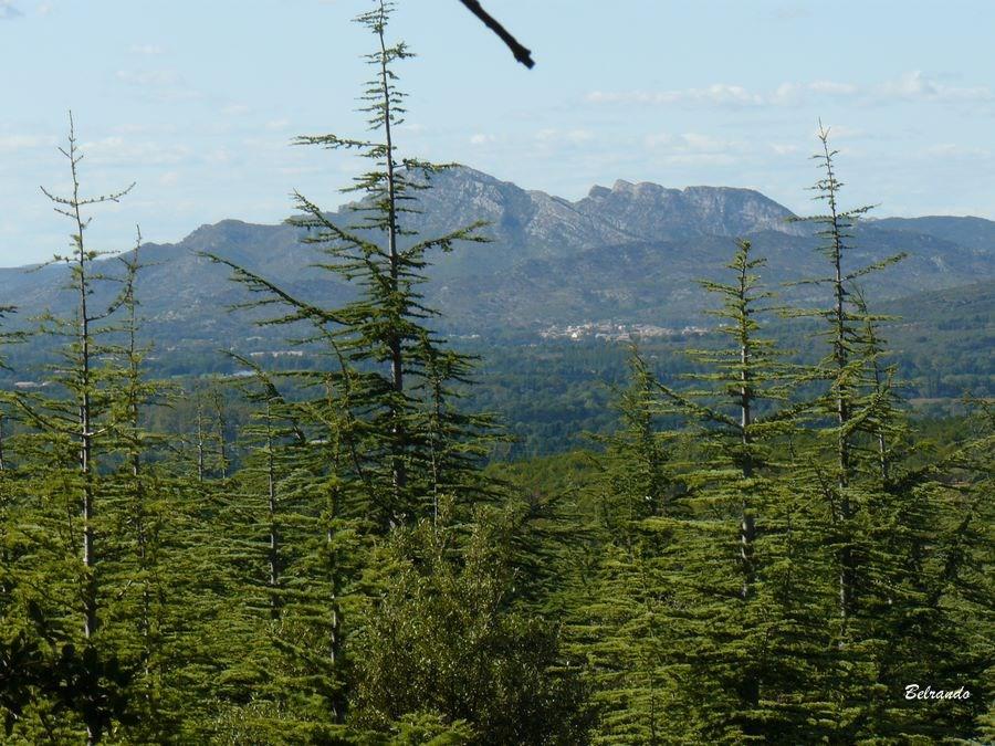 Au 1er plan les cèdres du Tallagard variété : cèdres de l'Atlas : Cédrus Atlantica comme ceux de la forêt de cèdres de Bonnieux. A l'arrière plan, début de la chaîne des Alpilles.