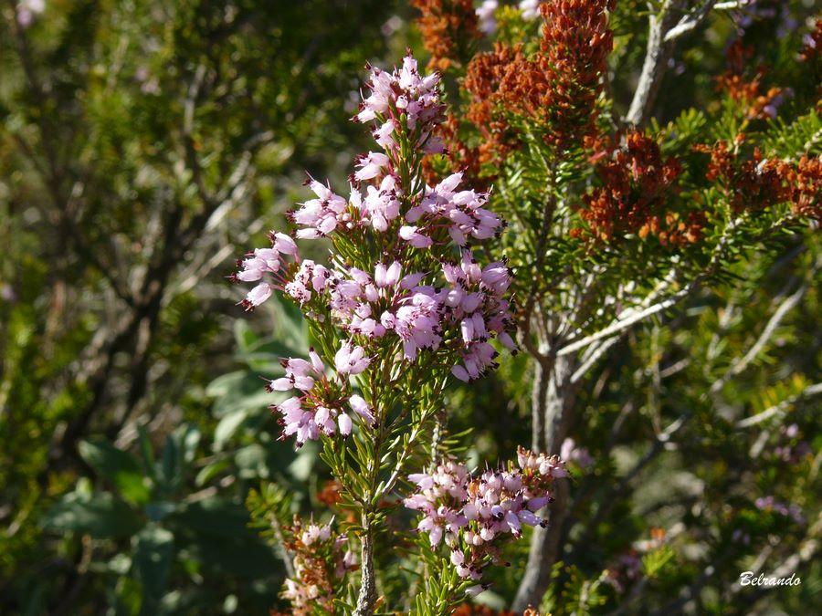 Bruyère et ses fleurs rose pale.