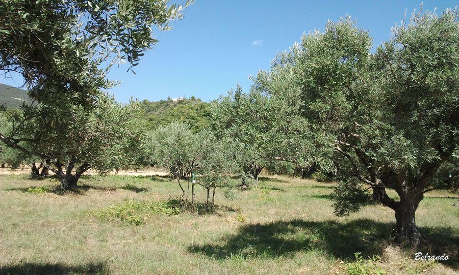 champ d'oliviers et en arrière plan l'ermitage de cucuron
