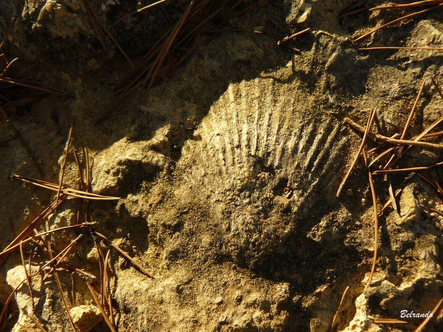 Coquille fossilisée affleurant sur l'un des sentiers.