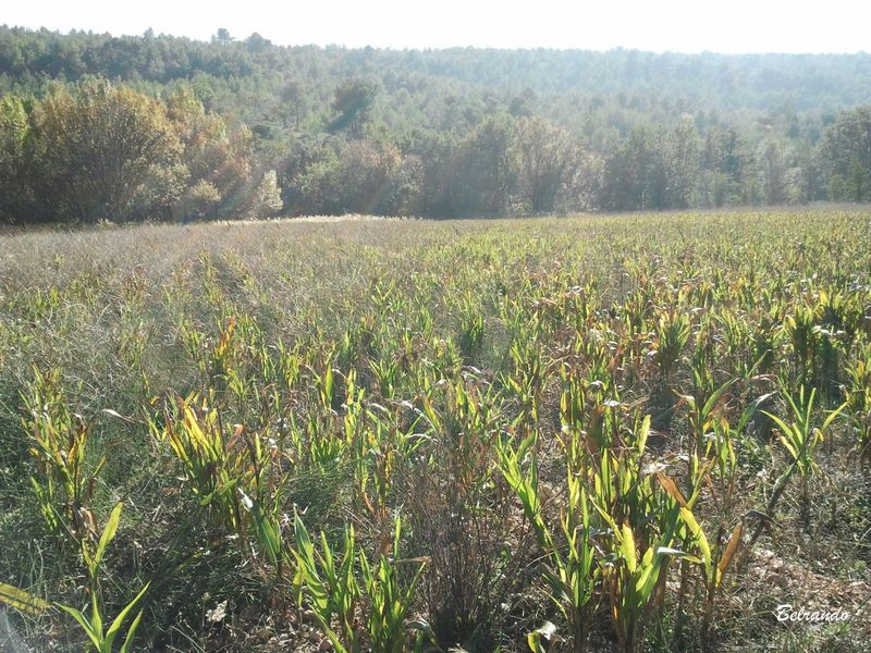 Au 1er plan une plantation de sorgho (à vérifier) et au loin les arbres qui bordent le ruisseau Le Bayon.