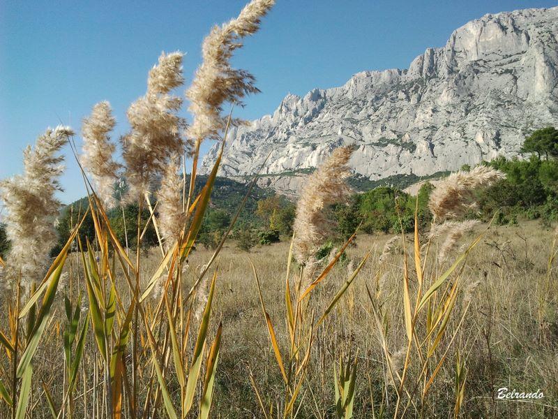 Roseaux à balais - Nom scientifique : Phragmites autralis - Famille : Poaceae