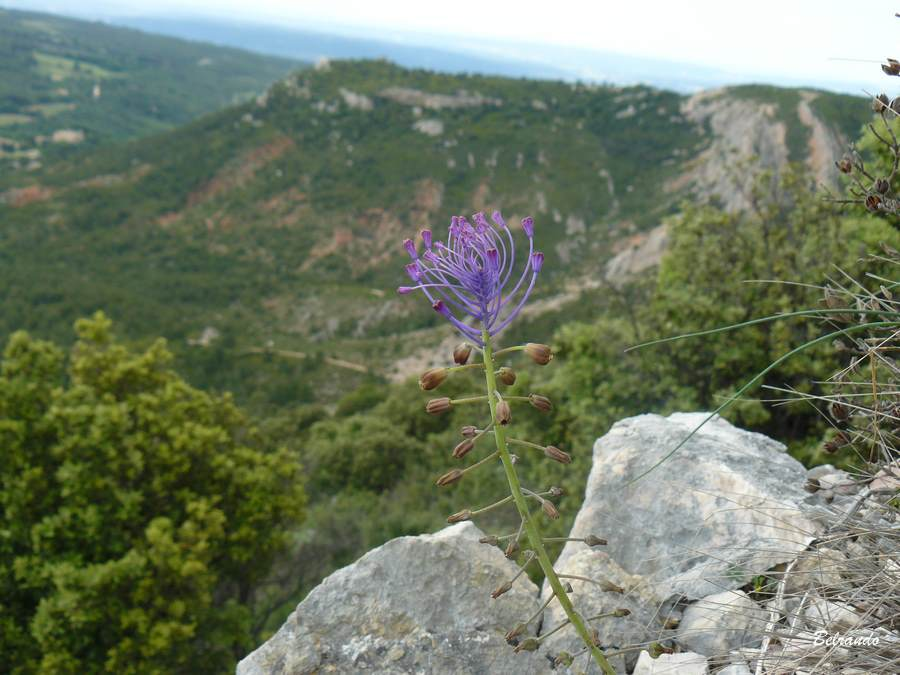 Muscari à toupet - Leopoldia comosa