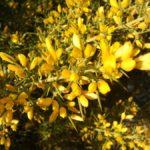Algelàs - Ajonc de Provence- Ajonc à petites fleurs - Ulex parviflorus