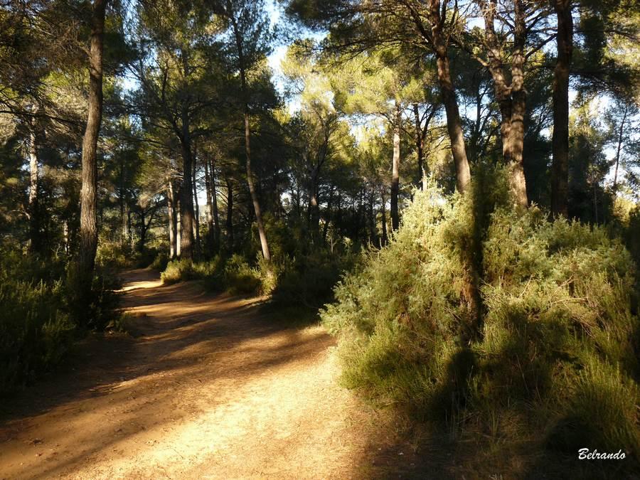 sentier sous les pins
