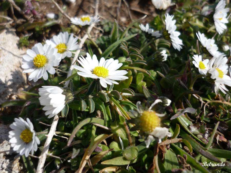 Marguerite Leucanthemum graminifolium L