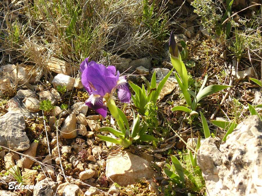 Iris lutescens, appelé l'iris des garrigues ou iris nain.