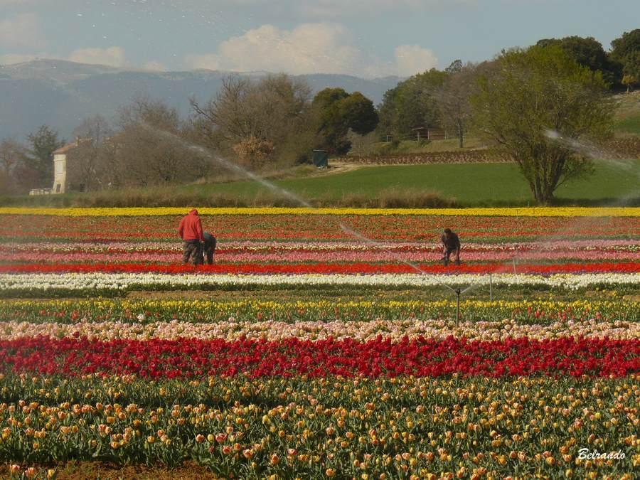 la brillanne rangs de tulipes et agriculteurs