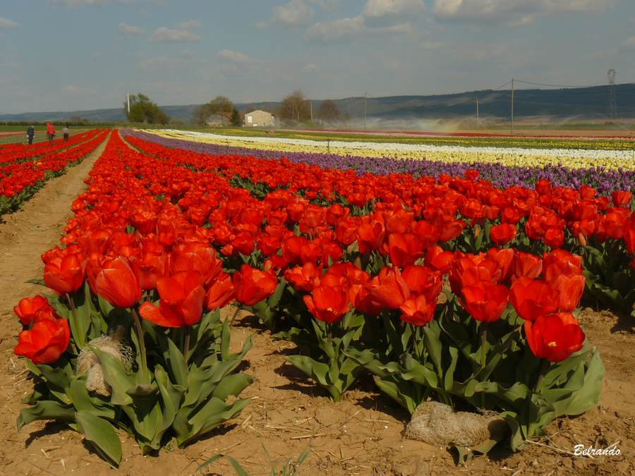 la brillanne rangs de tulipes rouges
