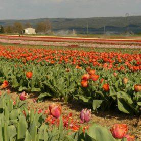 la brillanne champs de tulipes rouges