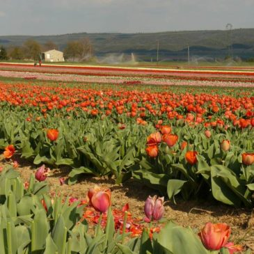 Les champs de tulipes de La Brillanne