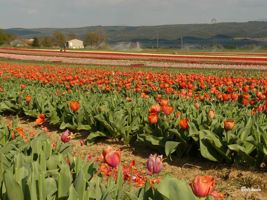 la brillanne champs de tulipes rouges