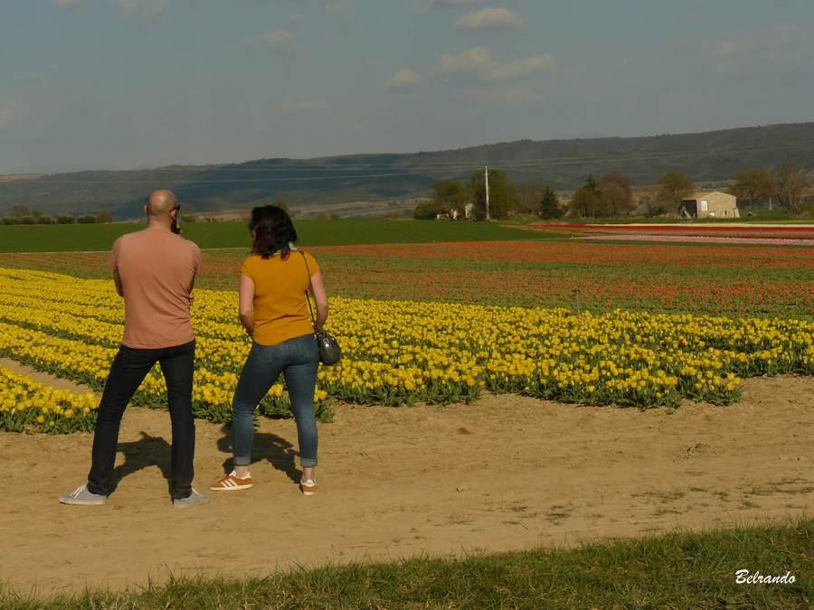 promeneurs devant champs de tulipes jaunes