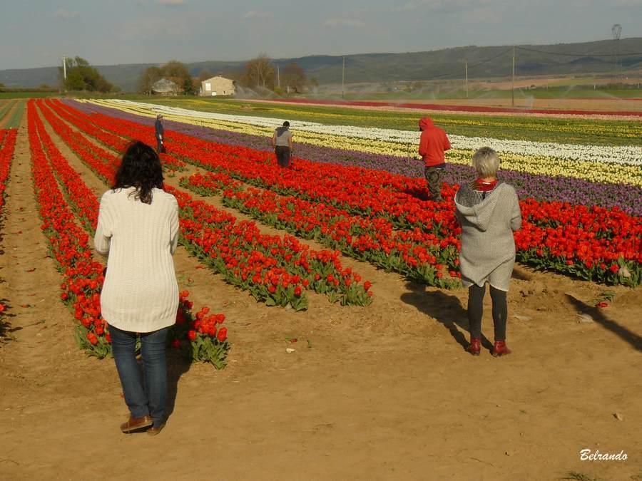 promeneurs devant champs de tulipes