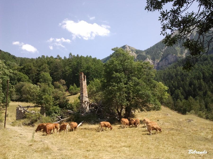 Vestiges de Costebelle cheminée et vaches