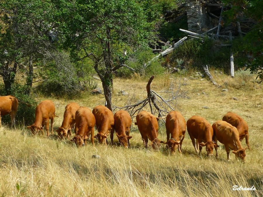 Troupeau de vaches du coin bien alignées !