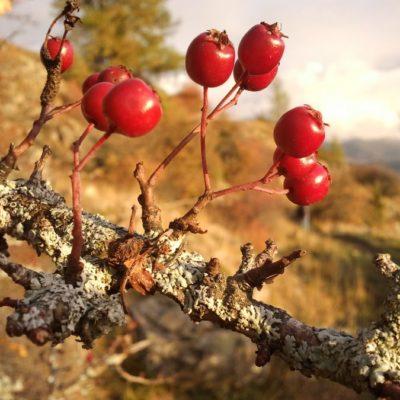 Baies de cenelles, fruits de l'aubépine