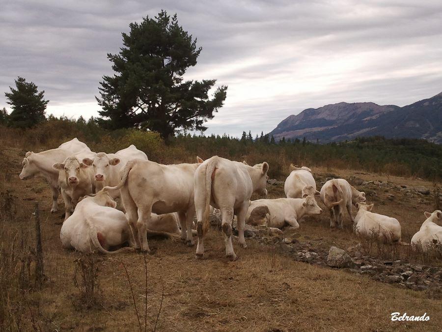 Troupeau de vaches, route des Combes entre Saint-Bonnet et Chaillol 1600