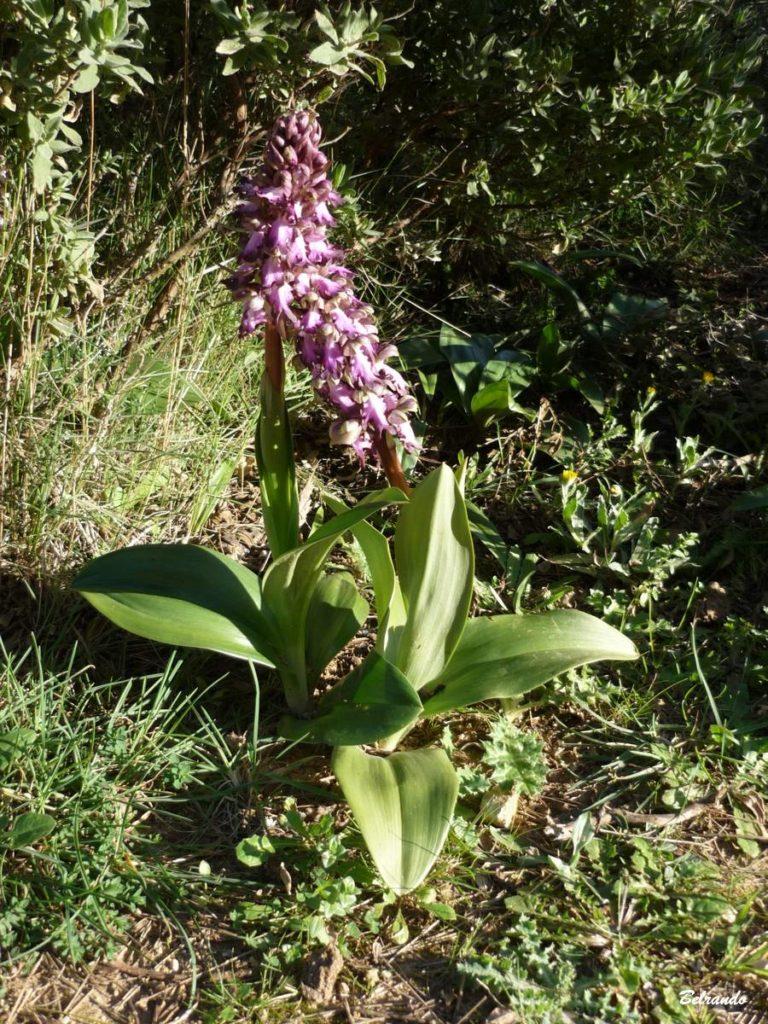 Orchis géant Himantoglossum robertianum