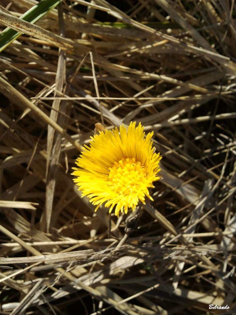 Fleur de tussilage (Tussilago farfara) ou pas-d'âne. Famille des Asteraceae.