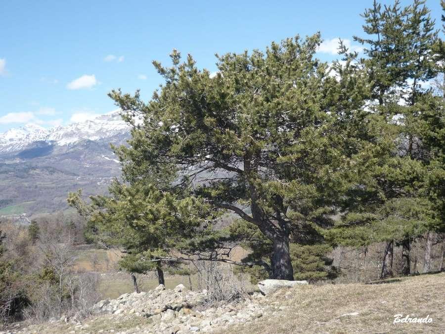 Un pin cembro caractéristique de la haute montagne, car il se développe entre 1 700 et 2 400 mètres d'altitude.