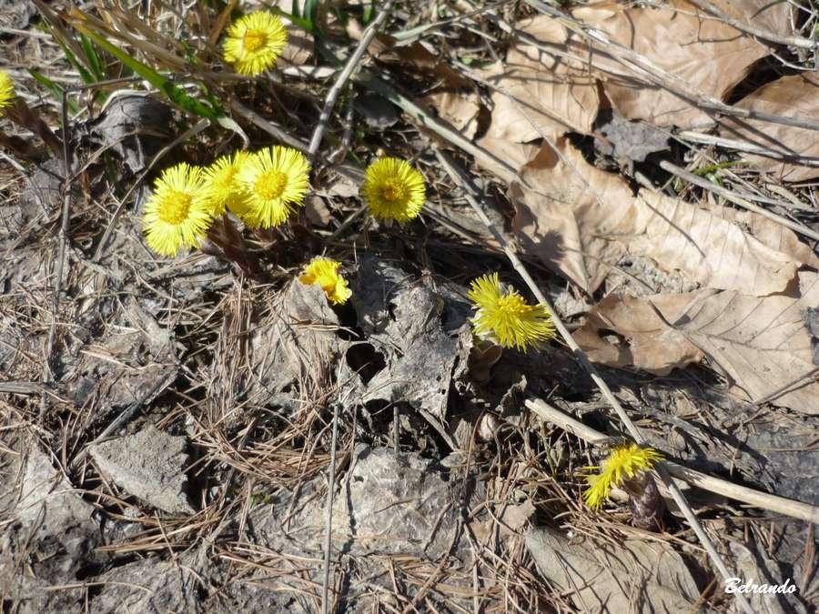 Aparition des tussilages (astéracées) à la fonte des neige. Fleurs des endroits rocailleux situés entre 500 et 2400 m d'altitude.