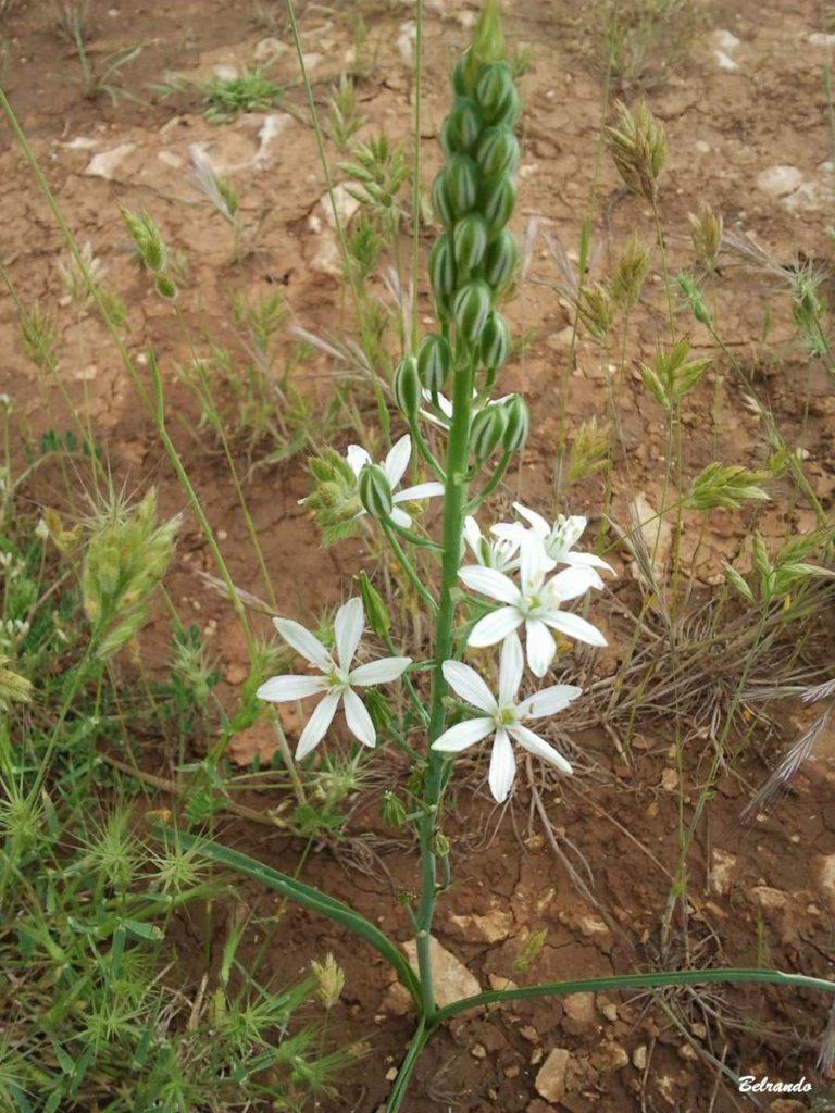 Phalangère à fleur de lys